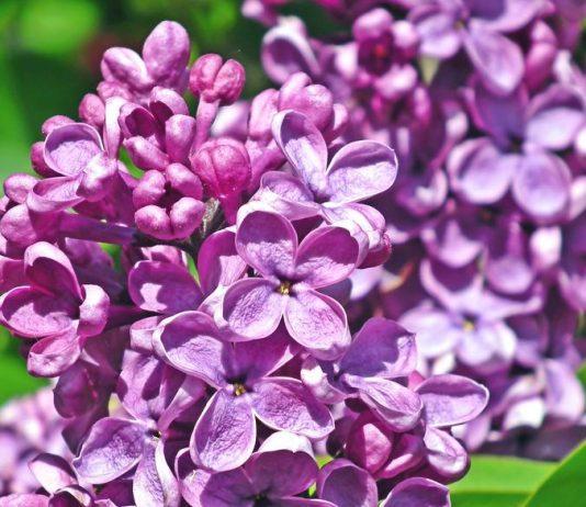 8. kvetna